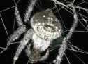 …edhe merimangat bëjnë seks oral!