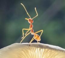 Ja si milingonat vetëprodhojnë antibiotikë për shërimin e sëmundjeve të tyre